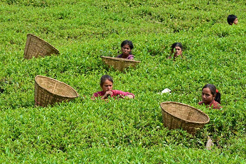 Tea gardens in Nepal