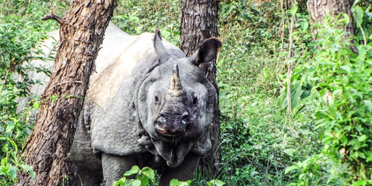One horned rhino 1