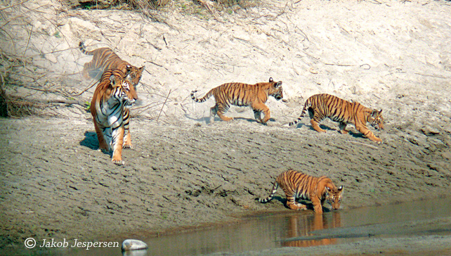 Tiger hunting in Bardiya