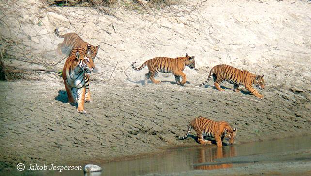 Tiger Hunting in Bardiya National Park