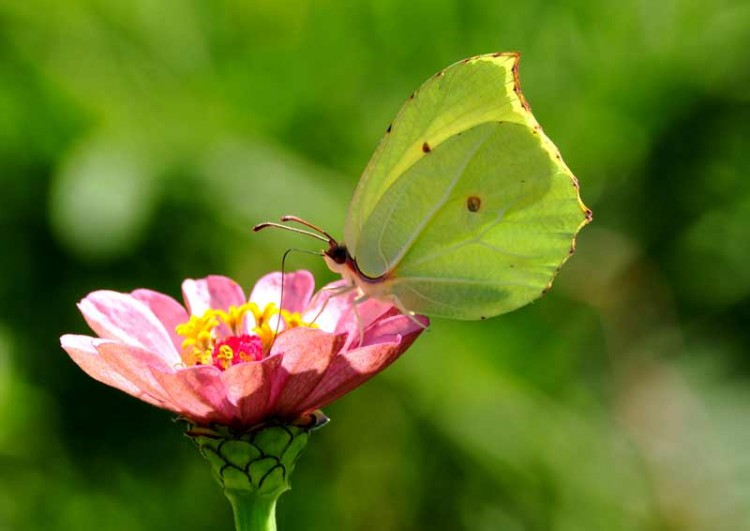 Common Brimstone. Photo: Piet van der Poel