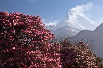 Nilgiri and Rhododendrons. © Greg Willis