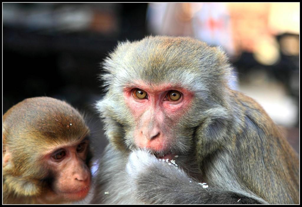 Cheeky monkeys at Swayambhunath Temple in Kathmandu. Photo: Franx'/Flickr