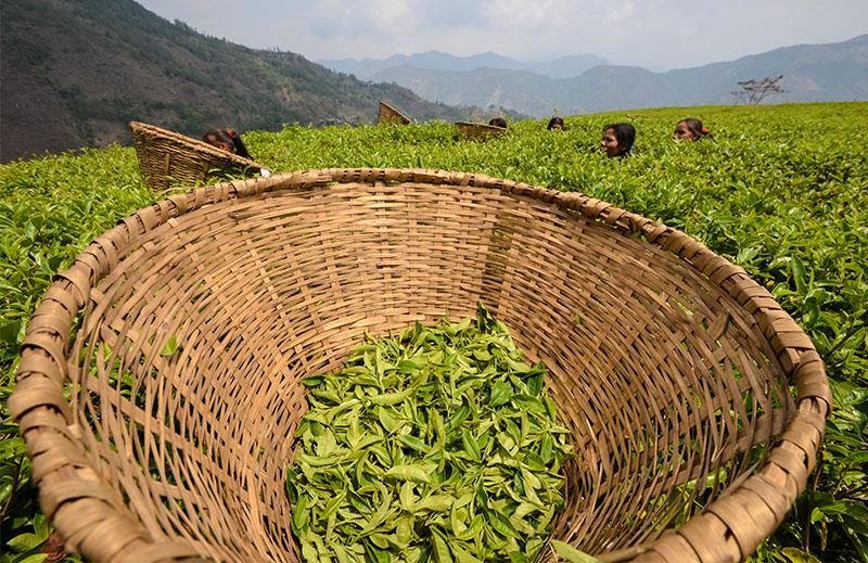 Tea Plantation, Illam