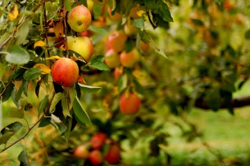 Where to Find the Freshest Apples in Nepal: Jumla