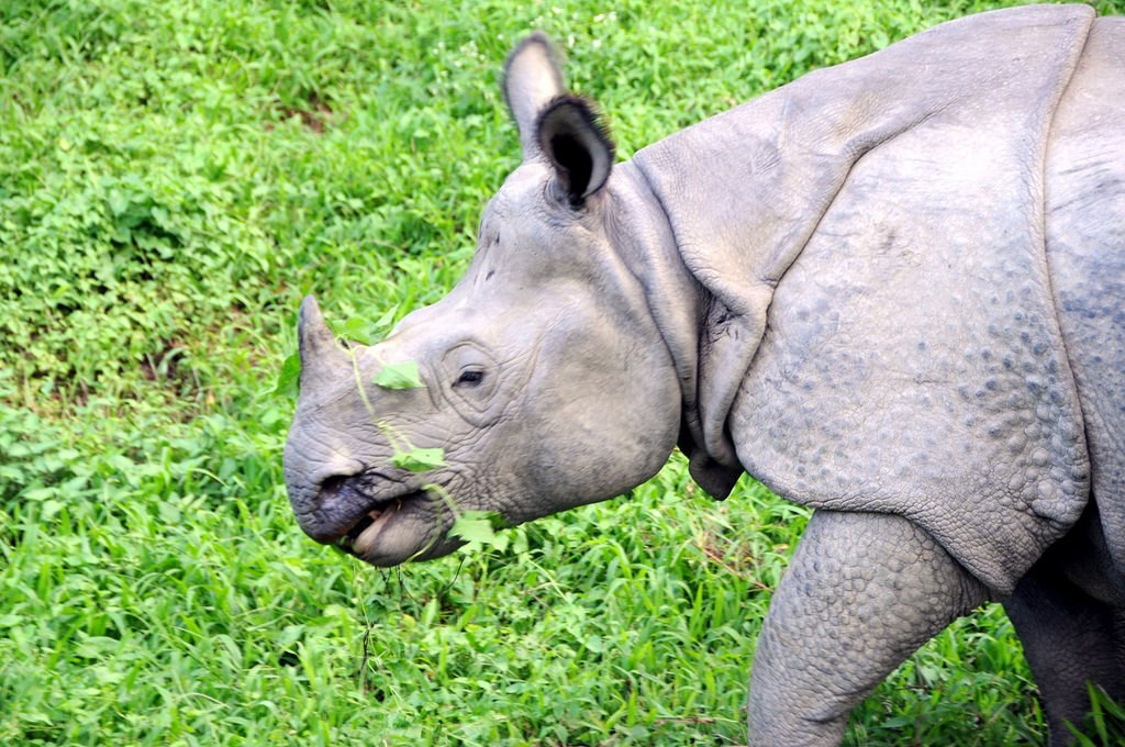 A one-horned rhinoceros at Chitwan National Park. Photo credit: Nomad Tales / Flickr