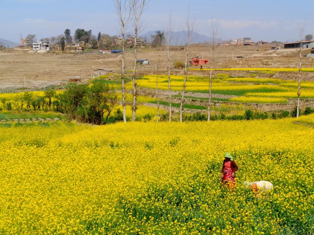 Mustard fields of Khokana. Photo: Silvia Martin/Flickr