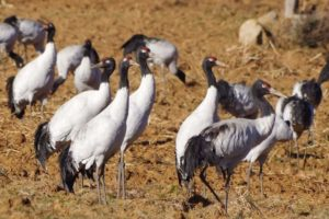 Bhutan's Beloved Black-Necked Cranes
